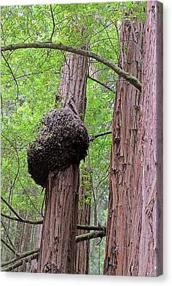 Fungus On A Redwood Tree Canvas Print by Bildagentur-online/mcphoto-schulz