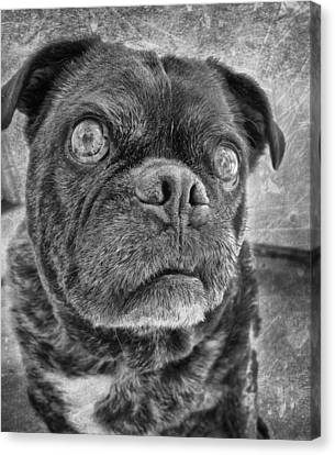 Funny Pug Canvas Print by Larry Marshall