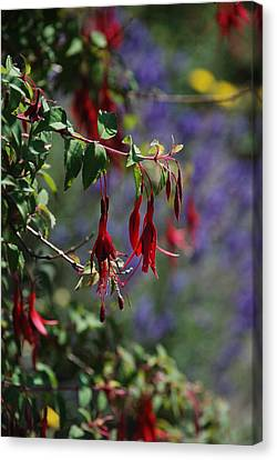 Fuschia Canvas Print by Carol  Eliassen