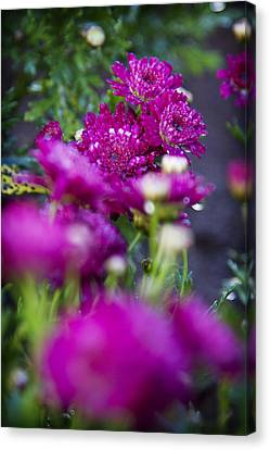 Fuschia Mums 1 Canvas Print by Jessica Velasco