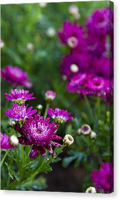 Fuschia Mums 2  Canvas Print by Jessica Velasco