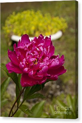 Fuschia Peony Canvas Print by Lena Auxier