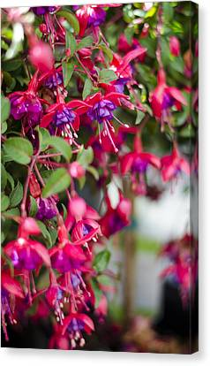 Fuchsia Spilling Over  Canvas Print by Heather Applegate