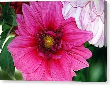 Fushia Pink Dahlia Canvas Print by Lehua Pekelo-Stearns