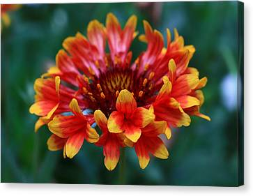Canvas Print featuring the photograph Gaillardia Flower by Keith Hawley