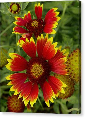 Canvas Print featuring the photograph Gaillardia / Flowers by James C Thomas
