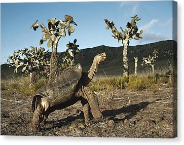 Galapagos Giant Tortoise And Opuntia Canvas Print by Tui De Roy