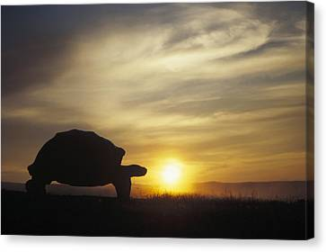 Galapagos Giant Tortoise At Sunrise Canvas Print by Tui De Roy
