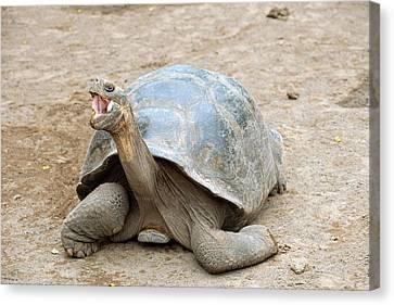 Galapagos Giant Tortoise Canvas Print by Bildagentur-online/mcphoto-schulz