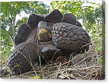 Galapagos Giant Tortoise Canvas Print