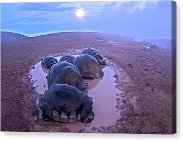 Galapagos Giant Tortoises On Volcano Rim Canvas Print by Paul D Stewart