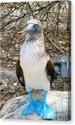 Galapagos Island Blue Footed Booby Bird 1 Canvas Print
