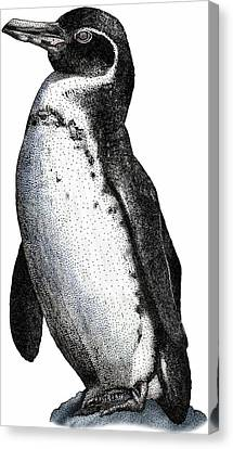 Galapagos Penguin Canvas Print by Roger Hall