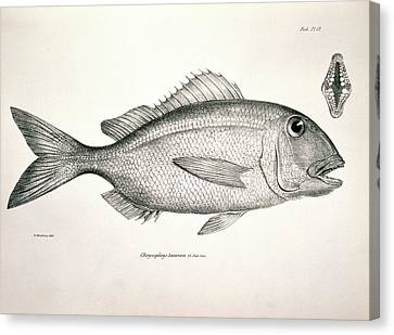 Galapagos Porgy Canvas Print by Natural History Museum, London