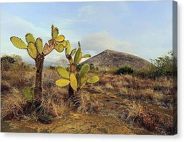 Galapagos Prickly Pear (opuntia Echios) Canvas Print by Science Photo Library