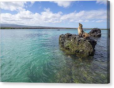 Galapagos Sea Lion Elizabeth Bay Canvas Print by Tui De Roy