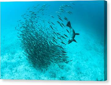 Galapagos Sea Lion Hunting Fish Rabida Canvas Print by Tui De Roy