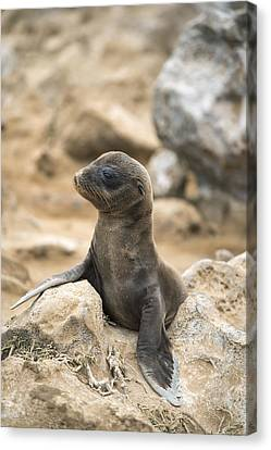 Galapagos Sea Lion Pup Champion Islet Canvas Print by Tui De Roy
