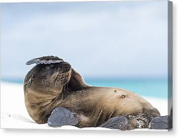 Galapagos Sea Lion Pup Covering Face Canvas Print by Tui De Roy