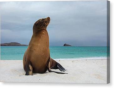Galapagos Sea Lions (zalophus Wollebaeki Canvas Print by Pete Oxford