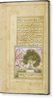 Galgal' (a Type Of Large Lime) Canvas Print by British Library
