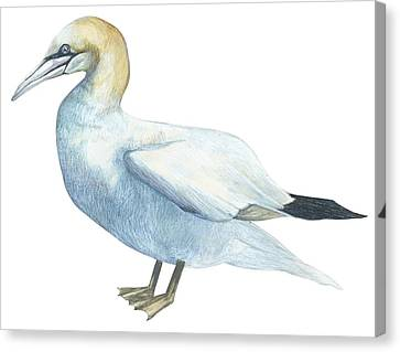Gannet  Canvas Print by Anonymous
