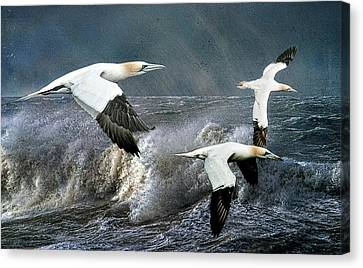 Canvas Print featuring the photograph Gannets Skimming The Waves by Brian Tarr