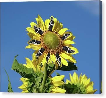 Garciacat Sunflower Canvas Print