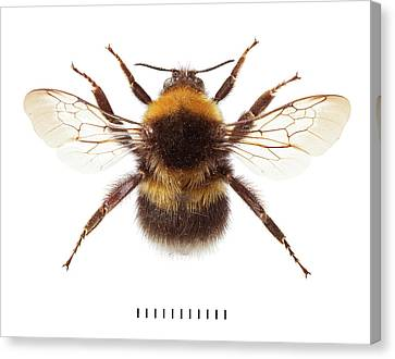 Garden Bumblebee Canvas Print by Natural History Museum, London