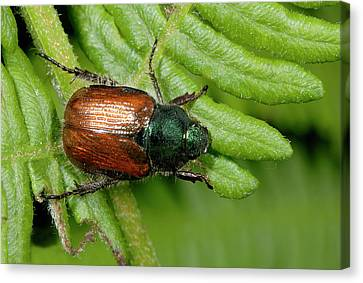 Beetle Canvas Print - Garden Chafer by Nigel Downer