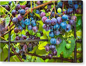 Concord Grapes Canvas Print - Garden Grapes by Bill Pevlor