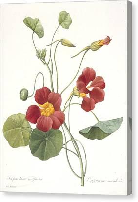Horticultural Canvas Print - Garden Nasturtium by Pierre Joseph Redoute