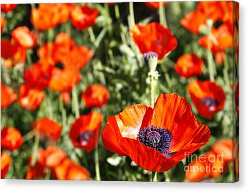Canvas Print featuring the photograph Garden Of Poppies by Lincoln Rogers