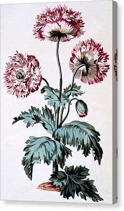Garden Poppy With Black Seeds Canvas Print