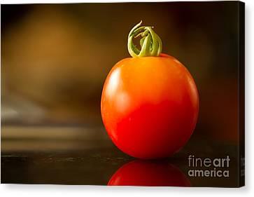 Garden Ripe Tomato Canvas Print by Randy Wood