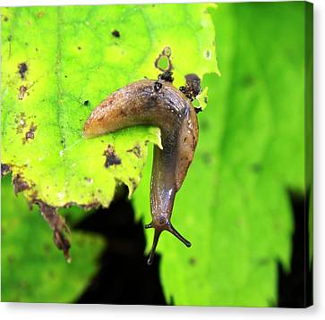 Slug Canvas Print - Garden Slug On A Leaf by Ian Gowland
