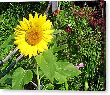 Garden Sunflower Canvas Print by Aimee L Maher Photography and Art Visit ALMGallerydotcom