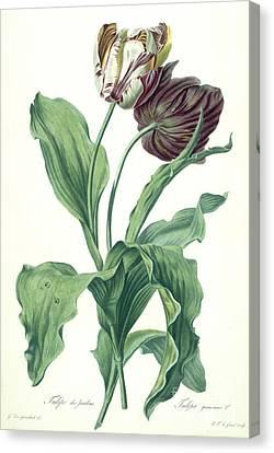 Garden Tulip Canvas Print by Gerard van Spaendonck