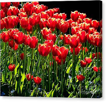 Gardenful Of Red Tulips Canvas Print by Melody Watson