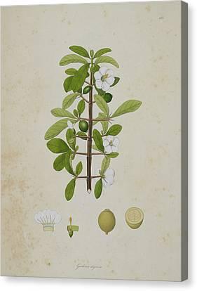 Gardenia Aligonosa Canvas Print