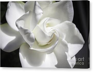 Gardenia Canvas Print by Arlene Carmel
