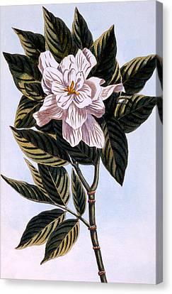 Gardenia G Augusta Canvas Print