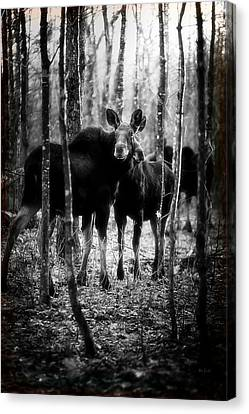 Gathering Of Moose Canvas Print by Bob Orsillo