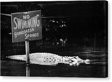 Gator At Homossa Springs Canvas Print by Retro Images Archive