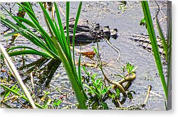 Gator Baby Canvas Print by D Wallace