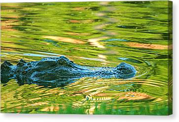 Gator In Pond Canvas Print by Patricia Schaefer