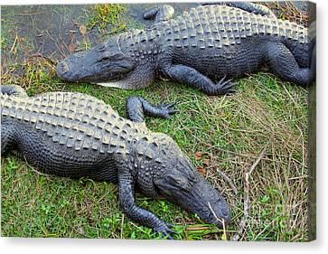 Gators Canvas Print