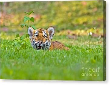 Gauging The Distance Canvas Print by Ashley Vincent