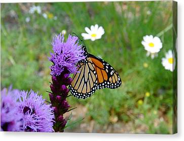 Gayfeathers And Butterfly Canvas Print by Sandra Updyke
