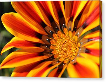 Canvas Print featuring the photograph Gazania Glory by Richard Stephen